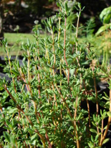 Thyme to heal gum diseases